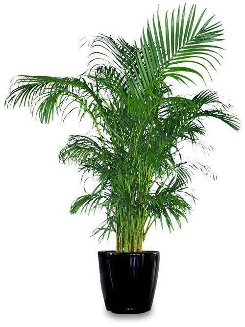 brdska palma